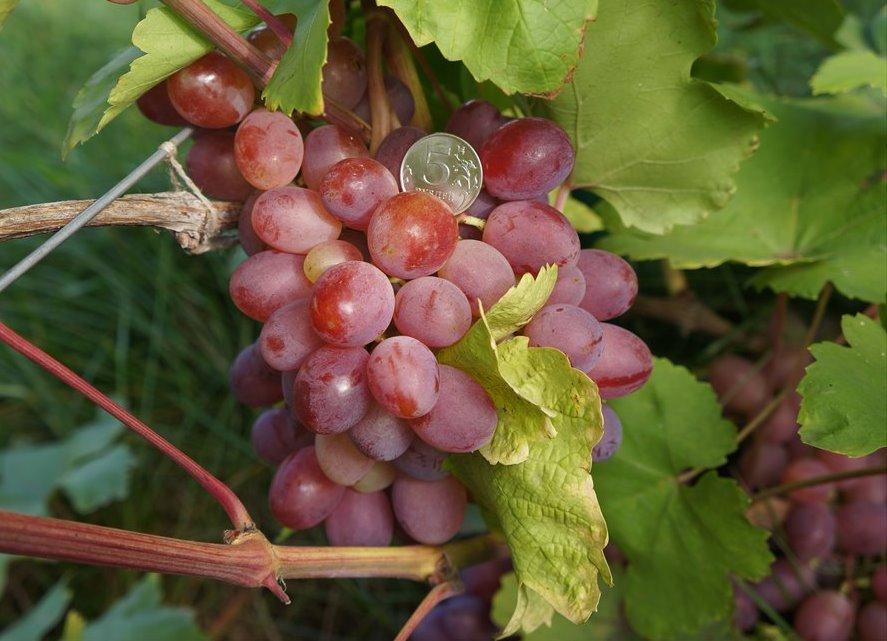 гарантировано исполним виноград алтай описание сорта фото катера